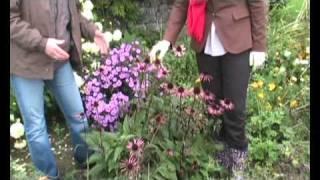 Echinacea purpurea    Cone flower