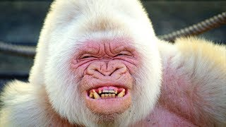 Video 10 Incredibly RARE White Versions of Animals download MP3, 3GP, MP4, WEBM, AVI, FLV Juni 2018