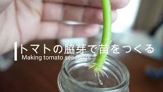 トマトの脇芽を植えてトマトを育てる方法【家庭菜園】