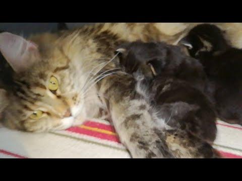 Котята Мейн Кун VII сезон.