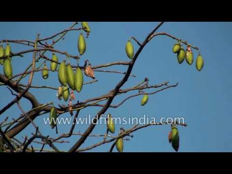 Ceiba pentandra or Kapok Silk cotton tree