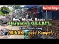Harga Burung Kalo Udah Siang Murah Bingit Cuma Ada Di Pasar Ini Kampungnya Iis Dahlia  Mp3 - Mp4 Download