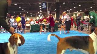 Here is the Best of Winner's class in American Foxhound at the Los ...