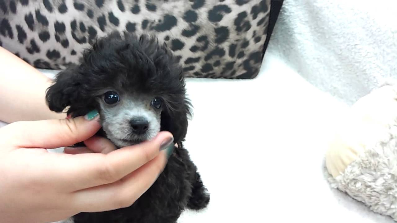 Micro Teacup Poodle Puppies For Sale Youtube