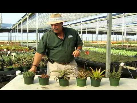 Succulent Aloe Varieties.avi