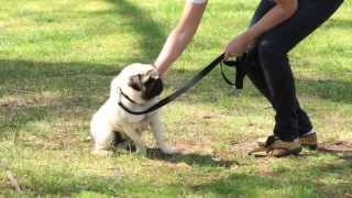 Dog Obedience Training (how To) - Purina