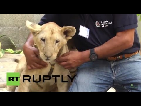 State of Palestine: Lions raised in Gaza transported to Tanzania