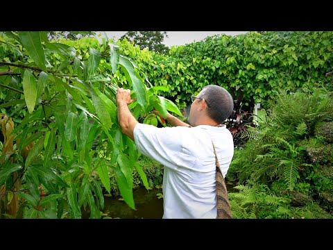 Pruning Mango Trees: 101 w Dr. Richard Campbell
