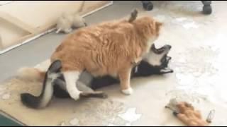 Когда кот больше собаки)