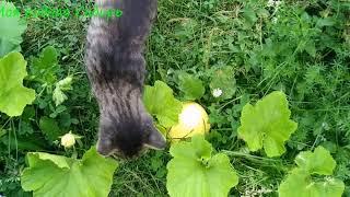 Кот,как всегда, рядом. Красивая гусыня Матильда. Купили рулон сена, сколько стоит?