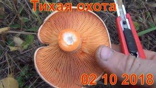 Тихая охота Грибы рыжики сбор в лесу 02 10 2018 Рыжик гриб  Сбор грибов лес природа выживание тайга