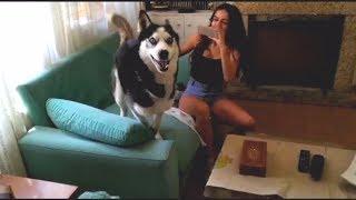 Max se vuelve LOCO de contento cuando vienen a verle !! . || Max the husky