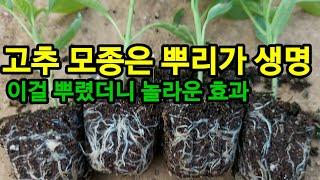 고추모종은 뿌리가 튼튼해야 고추농사를 성공 할수있습니다