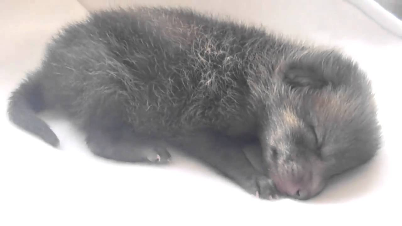 Newborn Coyote KCASE - Coyote Pup - M...