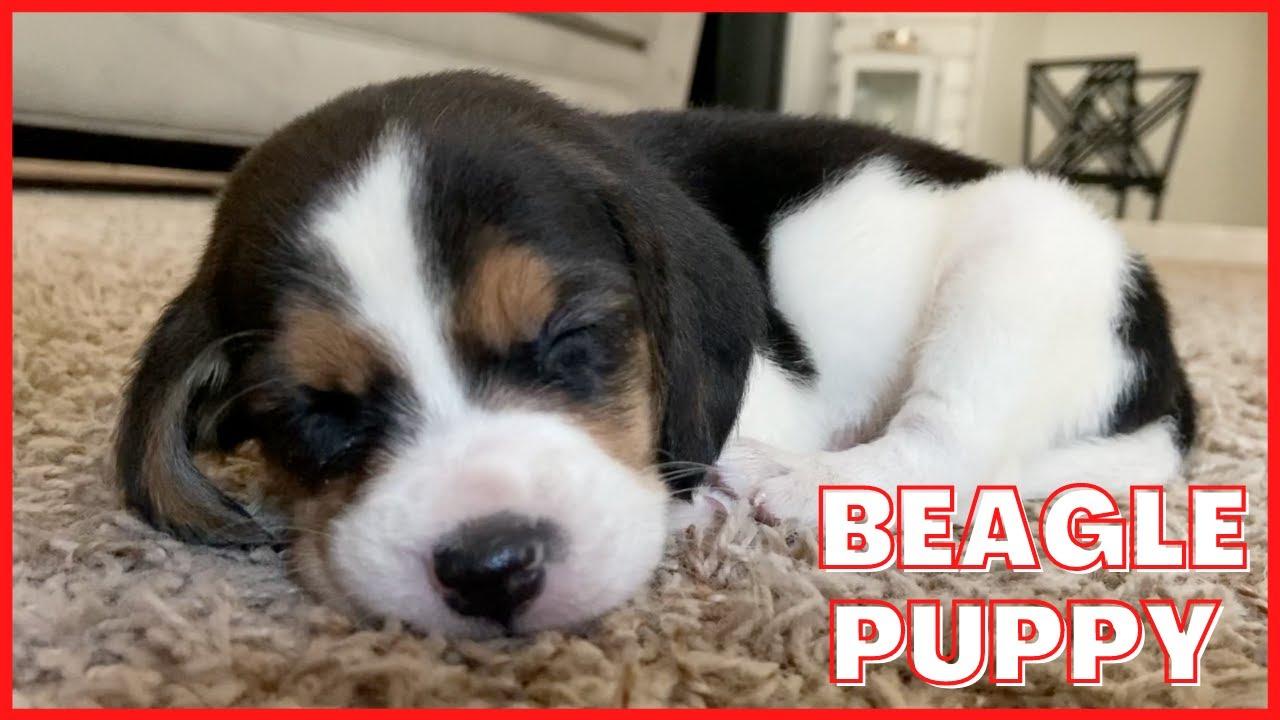 Cutest beagle puppy 5 weeks