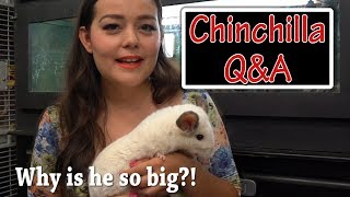 Chinchilla Q&A