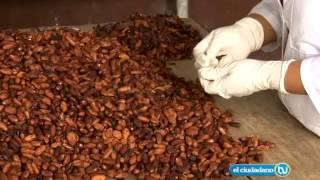 En Vinces 250 productores de cacao formaron organización Pepa de Oro