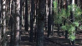 Лошади Пржевальского в окрестностях Чернобыль-2