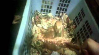 Henrietta the Duck, eating a Chicken Leg #5