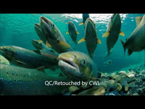 Salmon V Shark Osmoregulation
