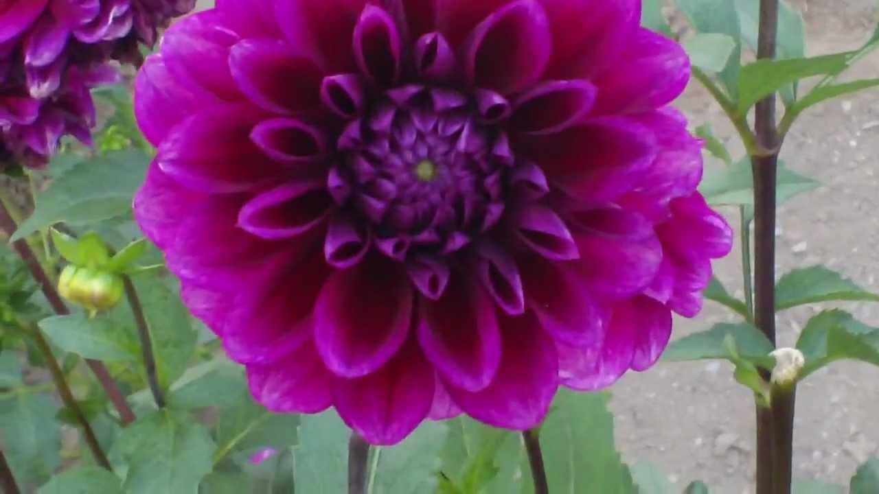 Dahlia Flower Garden Youtube