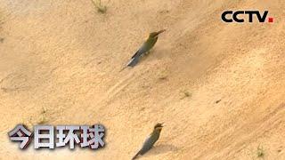 [今日环球] 海南:栗喉蜂虎迁徙繁衍   CCTV中文国际