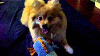 Pomeranian Playing Tug-a-war & Fetch