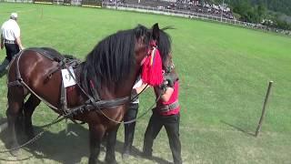 Concurs cai de tracţiune - Draft Horse Pull Contest (Gura Humorului, Bucovina, Romania)