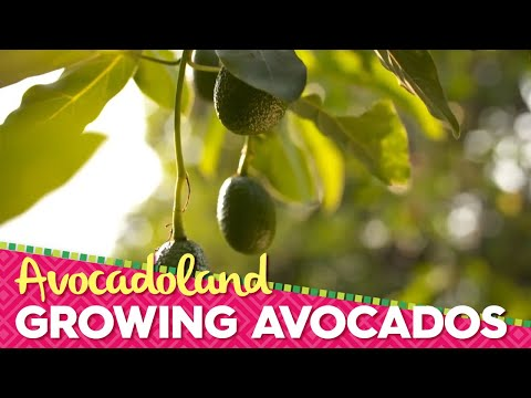Avocadoland | Episode 1 | Avocados From Mexico