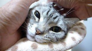 耳が痒かった猫 耳掃除でスッキリ