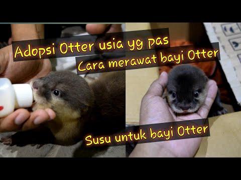 otter #berang-berang #linsang #sero #otterjinak Otter adalah hewan yang lucu dan penyayang, jagalah kelestarian mereka....