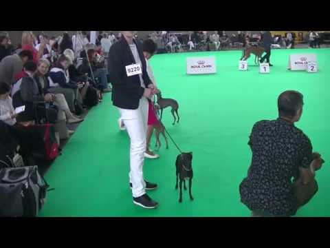 Italian Grey hound World dog show 2018 Amsterdam
