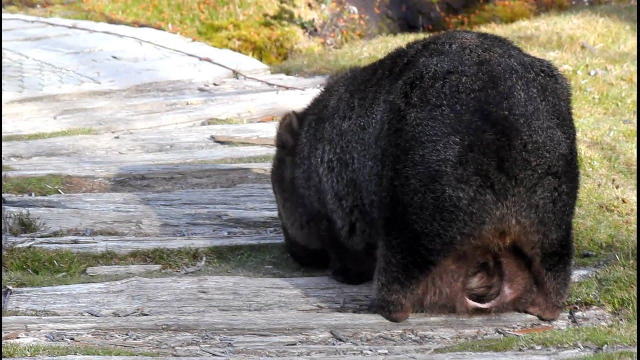 Baby wombat insi...J Pouch