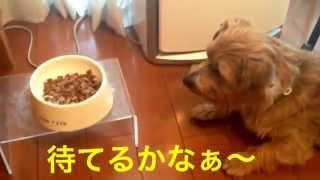 ノーフォークテリア くりりんTV 朝御飯 お昼寝 ノーフォークテリア価...