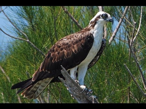 Florida Osprey In The Merritt Island National Wildlife Refuge