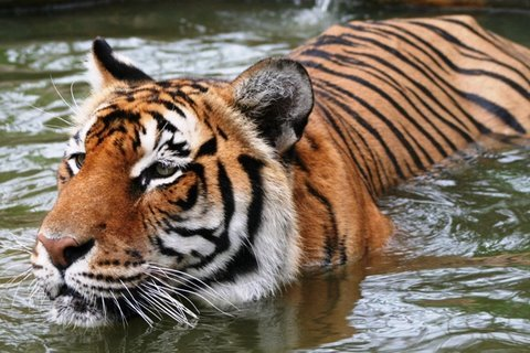Tiger Amazing Predator Why Can T We Save The Tiger