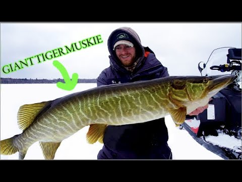 HYBRID MUSKY THROUGH THE ICE (tip-up Fishing)