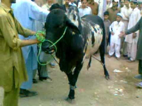 Qurbani cow 2010 in sultanabd - YouTube