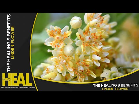 The Healing And Benefits of Linden Flower
