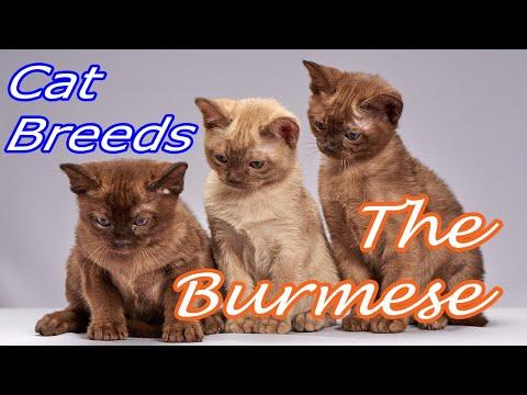 CAT BREEDS (The Burmese) Identify Top 10 Longest Living Cats & Kittens info