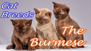 CAT BREEDS (The Burmese) Identify Top 10 Longest Living Cats & Kittens info