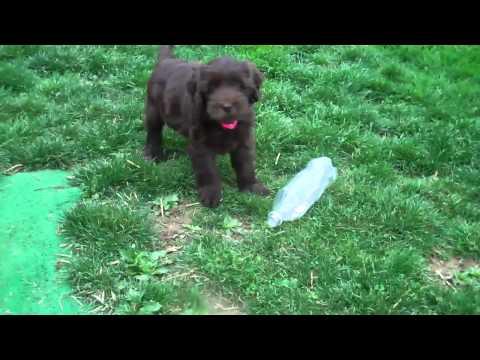 Meadow/Rocco Labradoodle Puppies 8 weeks old