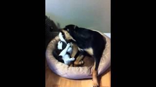Ufc Kitten Fights Rottweiler Pitbull Paws