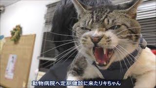 超ゴジラな猫リキちゃん☆激おこ!威嚇!動物病院でも自宅警備員の意地を見せる?周囲の警戒が半端ない猫【リキちゃんねる 猫動画】Cat videos キジトラ猫との暮らし