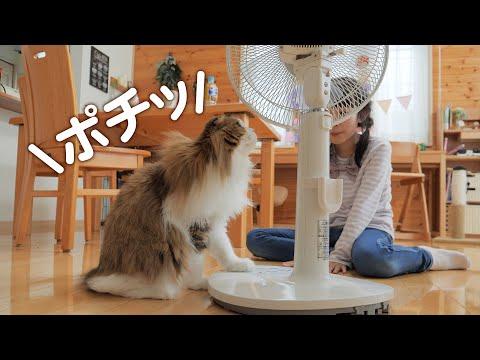 モフ毛が暑すぎて扇風機をポチッと押すことを覚えた猫