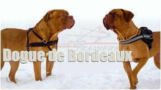 Dogue De Bordeaux Story
