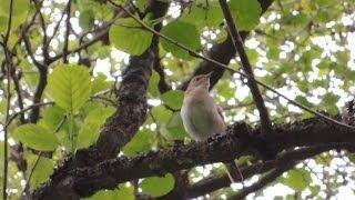 Соловей поет редкий кадр!!! Nightingale song Nightingales singinig
