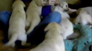 Puppy Training Yellow Labrador Puppies Starting Treat Training