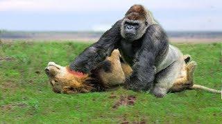 LIVE: Big Battle of Gorilla vs Lion - Cr...