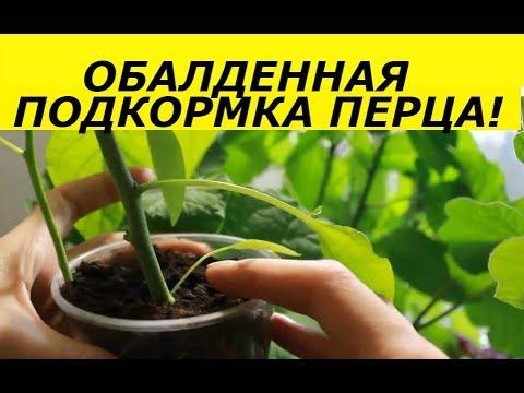 ОБАЛДЕННАЯ РАССАДА ПЕРЦА  ПОСЛЕ ТАКОЙ ПОДКОРМКИ / ПЕРЕЦ ОТ СЕМЯН ДО УРОЖАЯ | урожайность | выращивание | фитофтороз | фитофтора | пикировки | теплица | рассада | урожай | томаты | семена